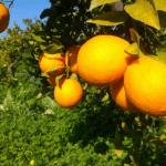 naranjas casa del mas infosvalencia